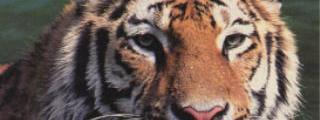 Der Tiger und der Büffel
